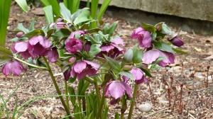Hellebore - Front Garden